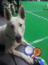 Born to Win White Zorro Best Of Breed