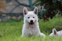 White Swiss Shepherd Puppies - BTWW Cool Crazy Warriors