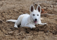 White Swiss Shepherd Puppy Born to Win Warrior Dogfire in Czech Republic