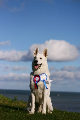 Born to Win White Zeus from Dog Show Best of Breed Junior