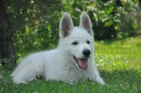 White Swiss Shepherd Dog Puppy Born to Win Warrior Hercules lives in Ukraine