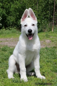 White Swiss Shepherd Puppy Born to Win Warrior Hooligan in Finland is growing