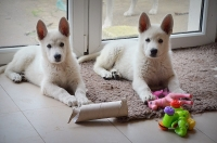 Born to Win White Zorro puppies in Poland